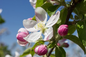apple blossom 1277009 1920 280
